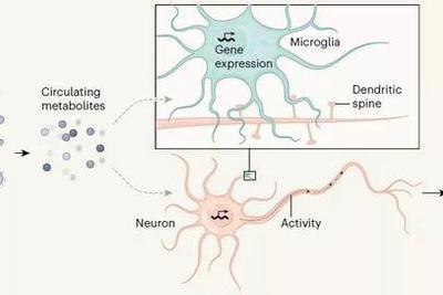 肠道微生物影响记忆?揭秘菌群变化如何改变大脑