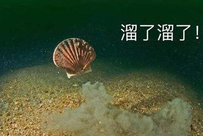 獐子岛扇贝现场打捞:大量死亡 活扇贝五不存一