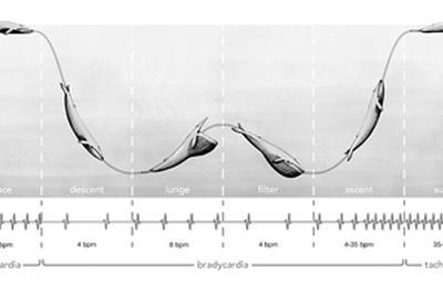 首次记录深海巨兽心率:蓝鲸心脏已达生理学极限