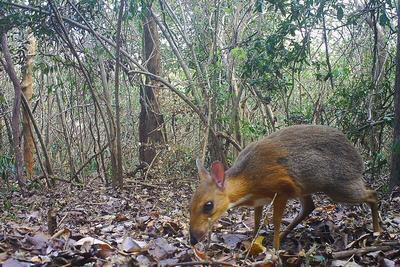 疑已灭绝的鼷鹿30年来首次被拍到 体型只有猫大