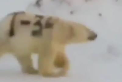 """北极熊身上被""""赐字"""" 网友痛心:失去了保护色会饿死的"""