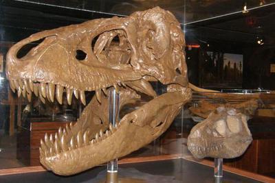 关于矮暴龙的争议:矮暴龙真实存在吗?