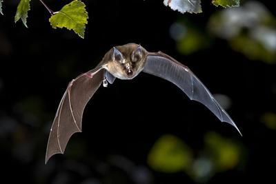 科学家首度公布6种蝙蝠的高质量基因组图谱