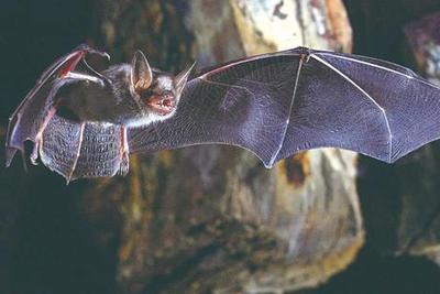 Nature:蝙蝠如何在6500万年里战胜病毒