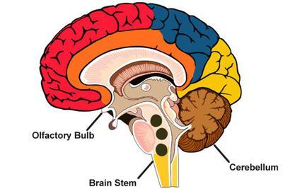 为什么我们的大脑里会出现磁铁?