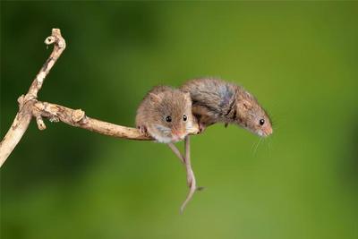 全球首次!中国科学家成功让公鼠怀孕:顺利诞下10只健康幼崽