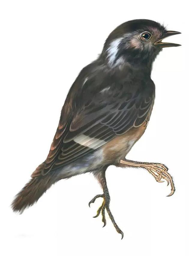 琥珀鸟与脚部骨骼轮廓图 (绘图 张宗达)