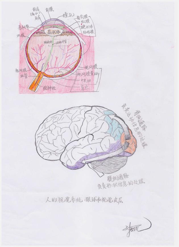 图5人的视觉系统:人眼的解?#24335;?#26500;以及视皮层的信息流(孙新尧 绘制,修改自https://commons.wikimedia.org/wiki/File:Schematic_diagram_of_the_human_eye_zh-hans.svg)