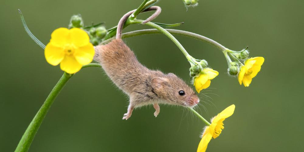 巢鼠攀爬植物秀杂技 模样可爱呆萌