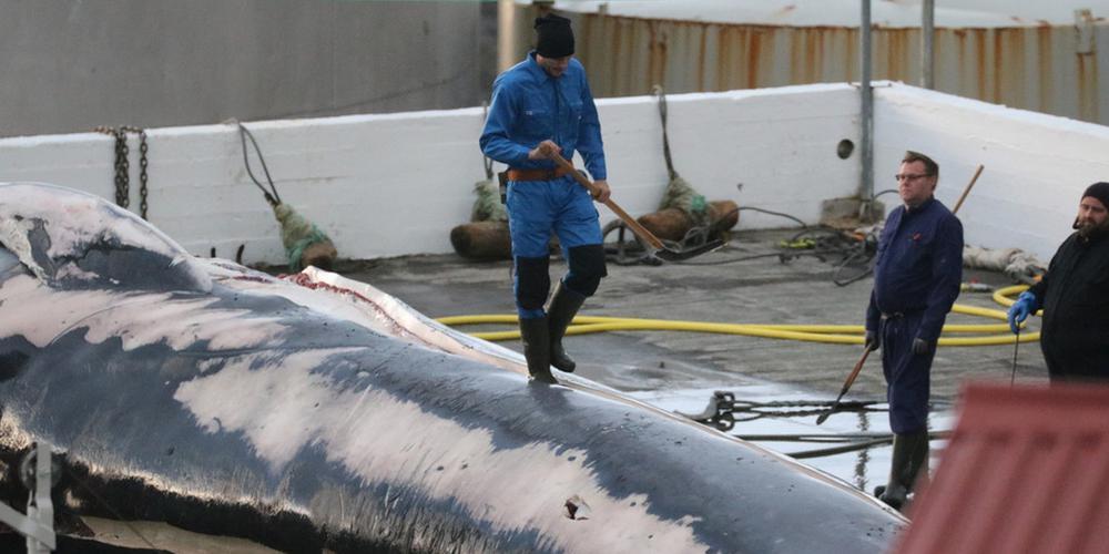 冰岛捕鲸公司再度残忍屠杀20米长须鲸