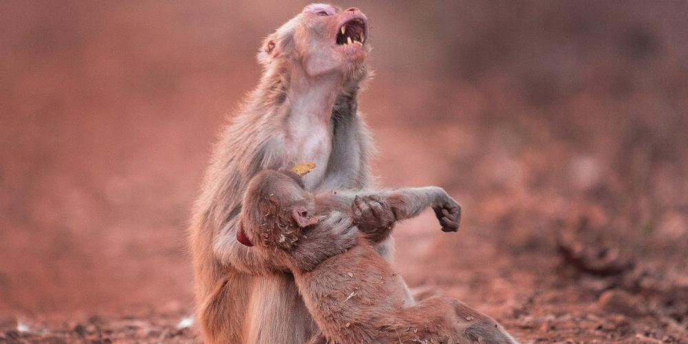 """动物界动人的母子情:猴子妈妈为夭折幼崽""""嚎啕大哭"""""""