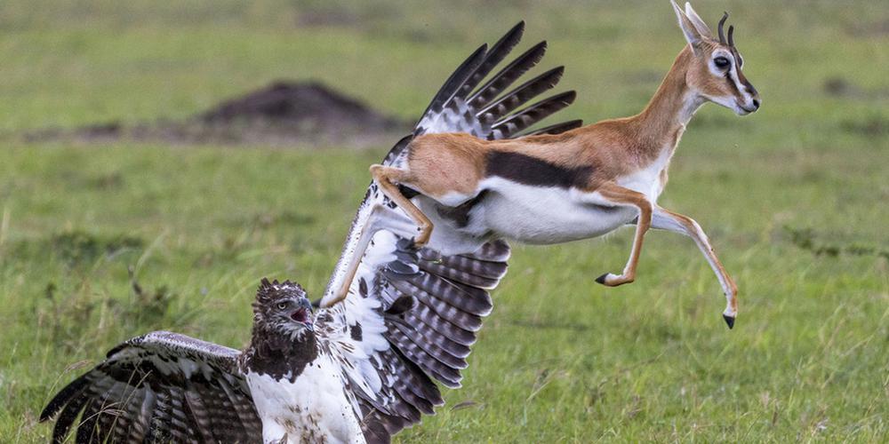非洲瞪羚妈妈勇斗巨鹰 欲解救被俘幼崽