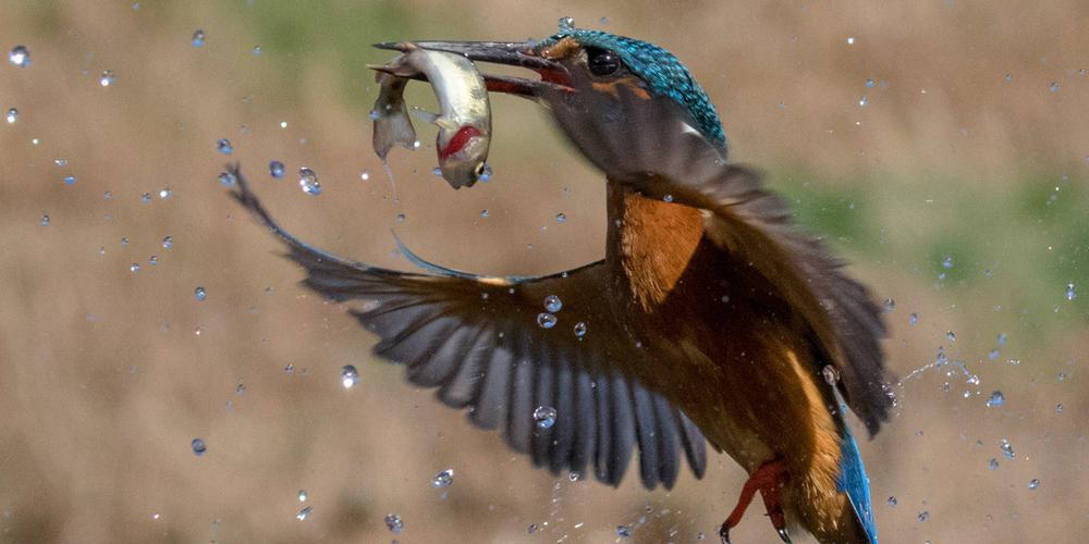 摄影师抓拍翠鸟捕食完美一幕 入水姿势满分