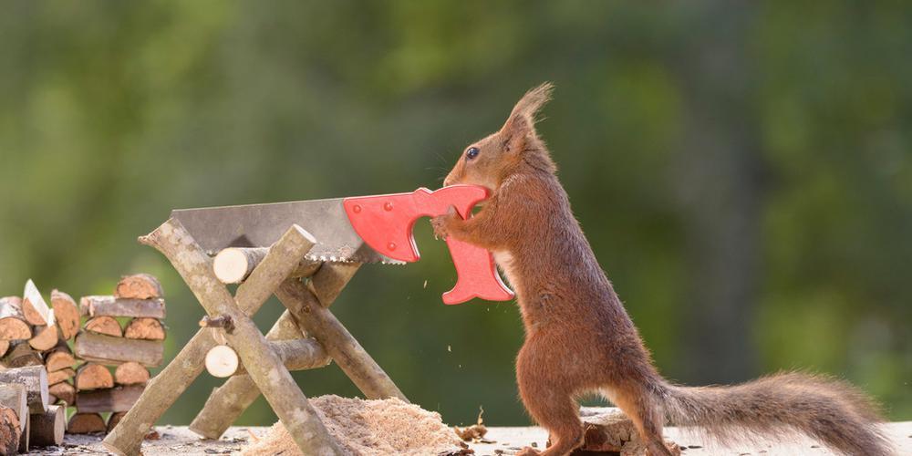 摄影师拍红松鼠砍柴生火 鼠模人样令人捧腹