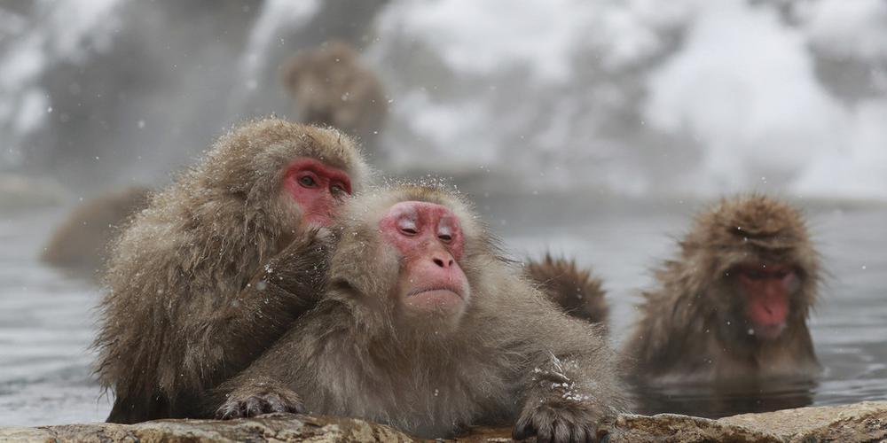 日本猿猴惬意泡温泉 享受冬日好时光