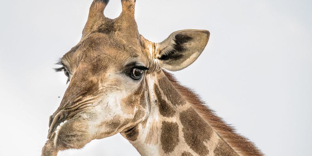 """南非长颈鹿患罕见病""""扭曲脸"""":下颚突出鼻子扭曲"""
