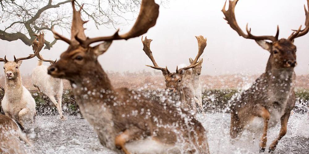 水花四溅:鹿群被宠物狗追赶惊慌逃窜