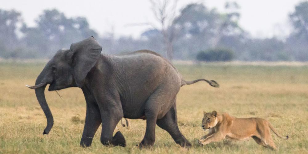 非洲小象遭狮子猎食 象群赶到霸气护崽