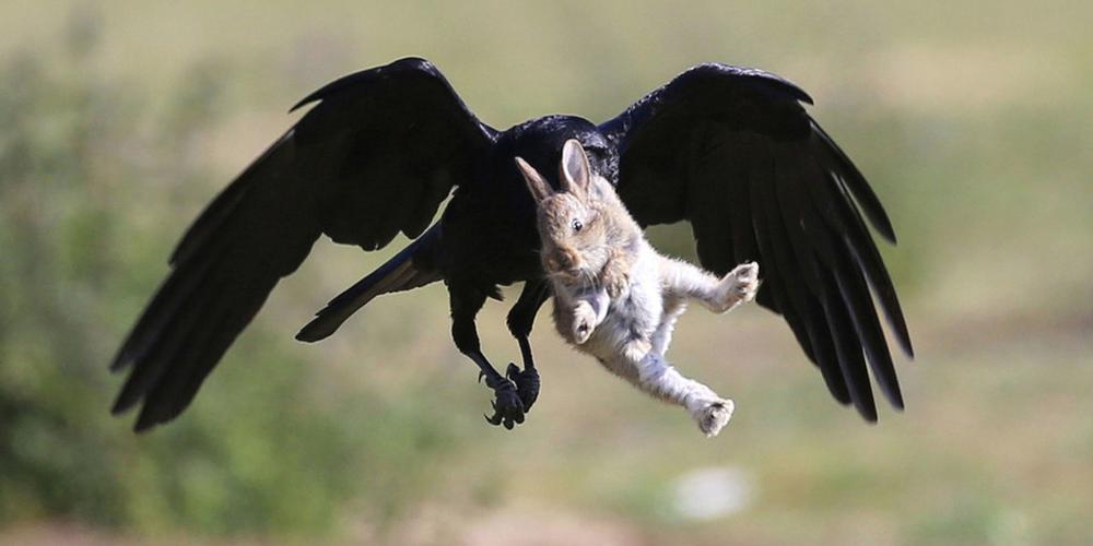 英国兔子宝宝悠闲吃草 遭乌鸦偷袭瞬间被叼走
