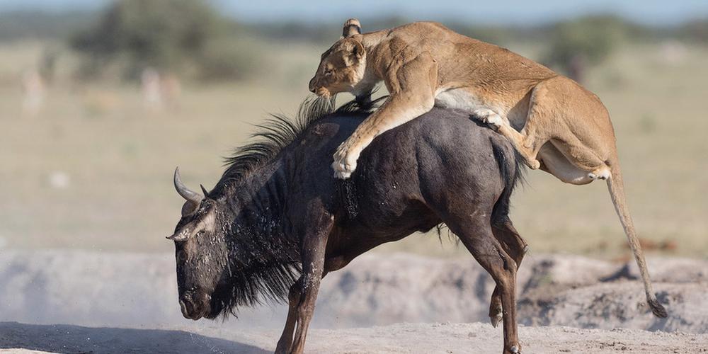 非洲母狮凶残猎食角马 上演左右夹击