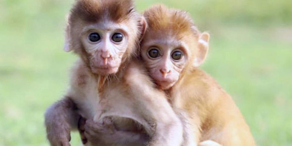 印度两小只猴子获救后紧紧依偎 一刻也不肯分离