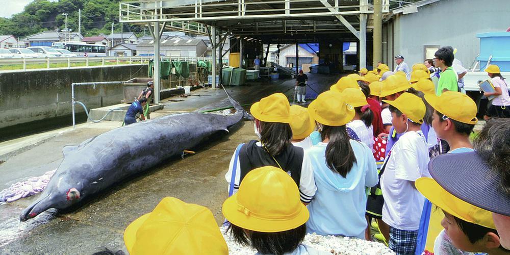 日本千叶县组织小学生现场观摩鲸鱼解剖