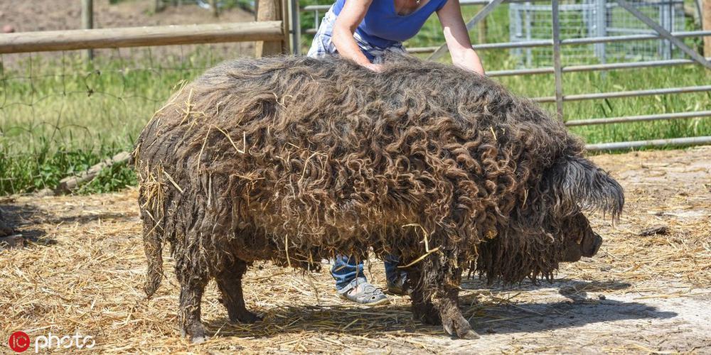披着羊毛的猪!它可能是你见过长得最奇怪的动物