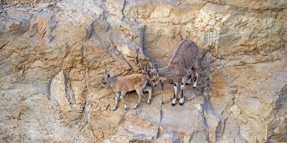 最厉害的攀岩手 母羊为救小羊上演悬崖历险记