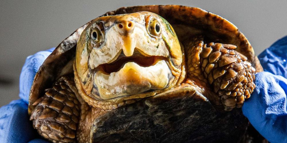 """有一种濒危海龟 因脑袋太大做不了""""缩头乌龟"""""""