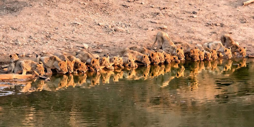 """""""偷拍""""南非狮子领地 23头幼狮排排坐喝水萌爆了"""