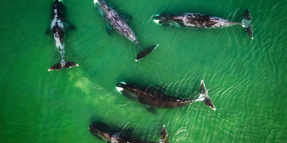 航拍俄罗斯海域成群虎鲸 碧蓝水中自在畅游