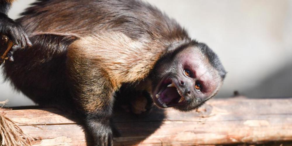 相貌奇特的南美洲黑帽悬猴安家昆明 与游客见面