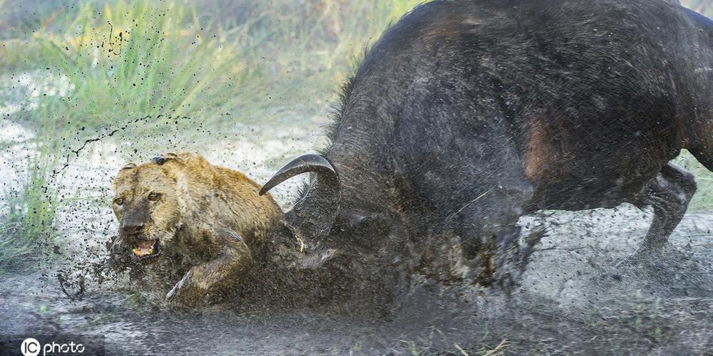 动物世界的反转剧:狮子捕食水牛反被刺死