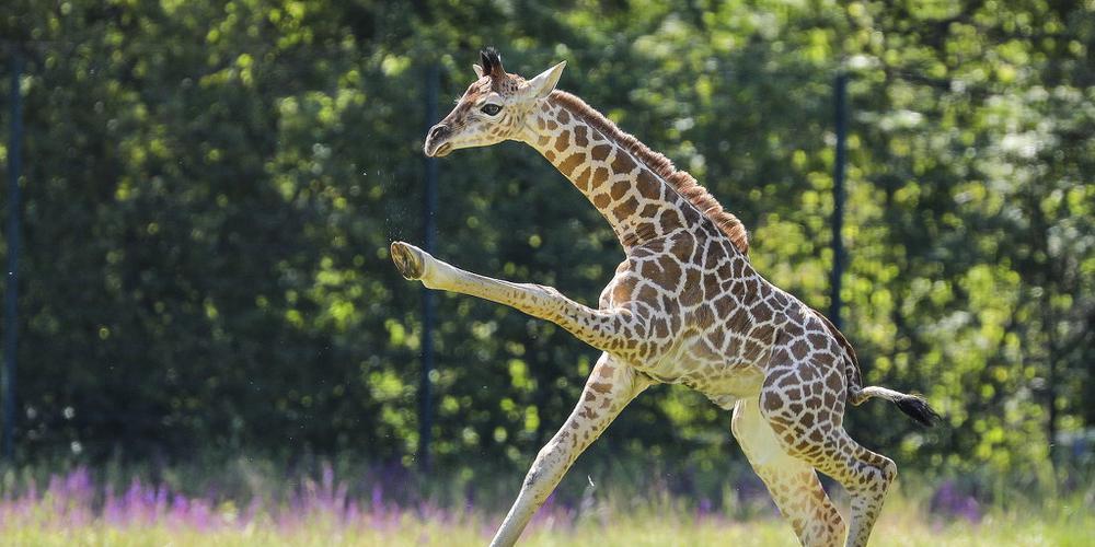 柏林动物园诞生濒危罗氏小长颈鹿 嬉戏玩耍好奇探索世界