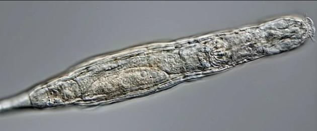 科学家解冻复活2.4万年前西伯利亚冻土层微小生物