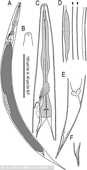 对这种名为Auanema rhodensis的线虫而言,雌性和雌雄同体线虫都有XX染色体,雄性则只有一个X,没有Y染色体。
