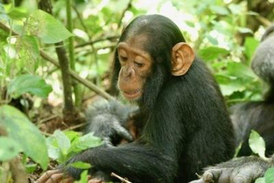人类普通感冒病毒成致命杀手:正在杀死野生黑猩猩