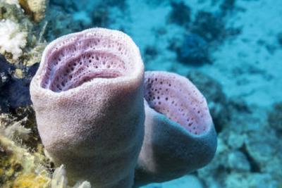演化生物学难题解决?研究称海绵才是最古老的动物