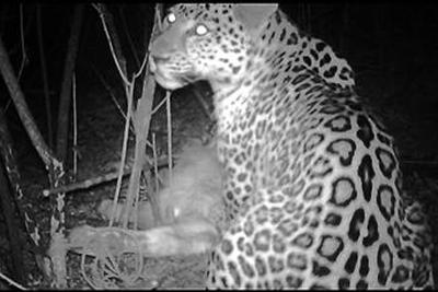 研究团队首次拍到华北豹吃牛视频 牛主人获得补偿