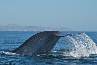 蓝鲸如何一口吞下50万卡路里:冲刺进食左转体360度