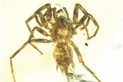 缅甸琥珀封存的远古秘密:1亿年前蜘蛛长着长长的尾巴