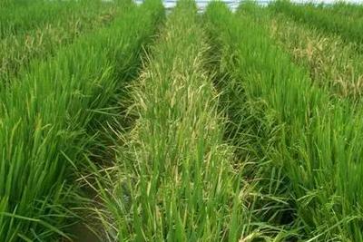 中国转基因大米获美食用许可 国内产业化种植成难题