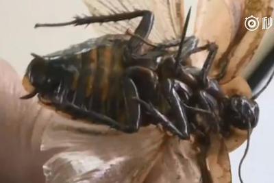 你从哪里来?科学家揭示生命力顽强的蟑螂进化史