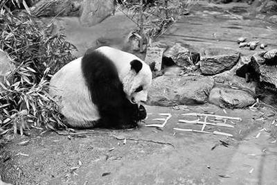 大熊猫年夜饭吃什么?饲养队班长:竹笋+胡萝卜