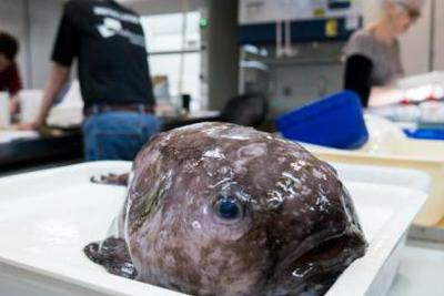 世界最丑动物深海怪鱼有表亲?这可能是它表弟