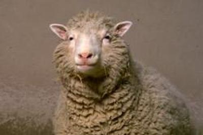 """克隆羊""""多莉""""差点被偷 但盗贼分不出它"""
