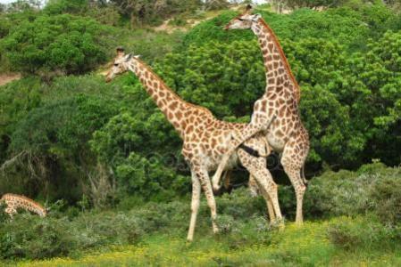 长颈鹿虽然交配过程只持续大约一秒,但之前需要经过某种奇特的仪式