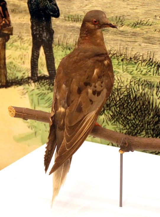 数量惊人的旅鸽为何灭绝:人类捕杀与低遗传多样性