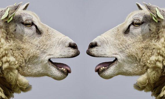 斯坦福大学的科学家首次培育出了人羊嵌合体,为在动物体内培育器官用于人体器官移植铺平了道路。