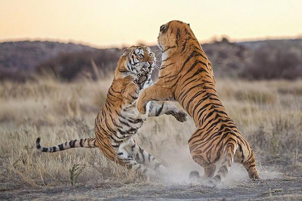 霸气十足!南非两猛虎为争领地站起开撕